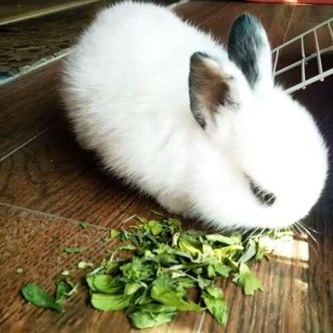 侏儒兔##宠物#就爱吃草