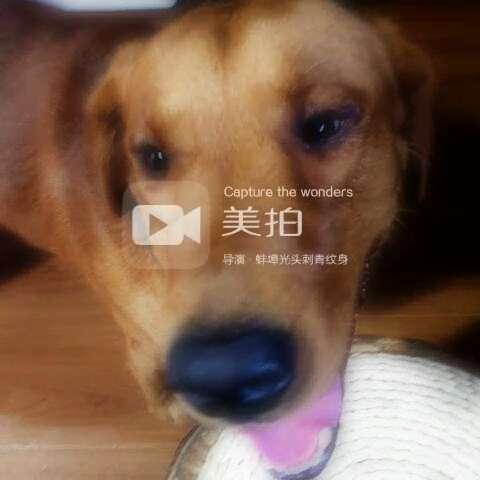 来福#宠物##拉布拉多##来福# - 蚌埠光头刺青纹身的